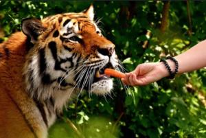 Feeding a tiger